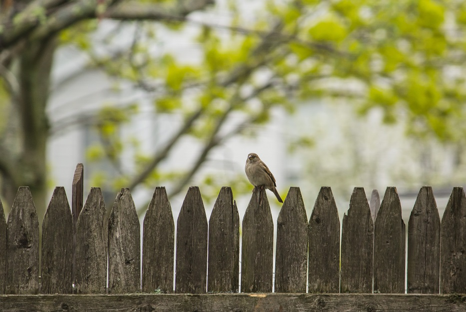 Image of a wood picket fence with a bird sitting on it.