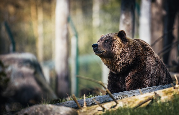 Image of a bear in the woods representing the bear real estate market